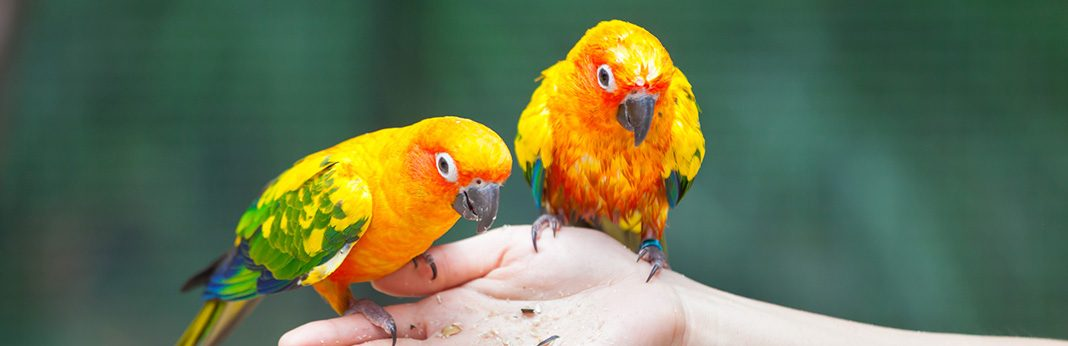Parrots as Pets Things You Need to Know