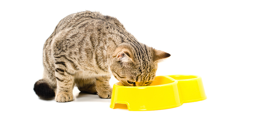 Scottish Straight cat eats