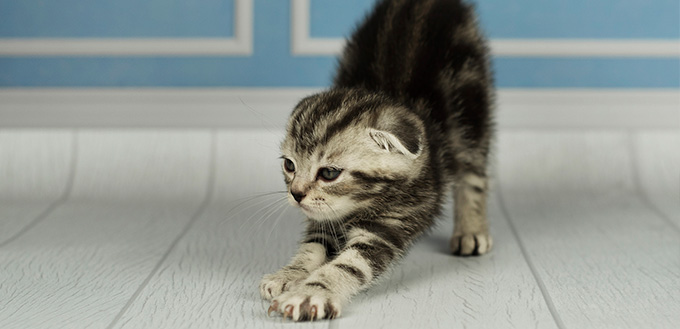 Sweet small gray kitty stretching itself