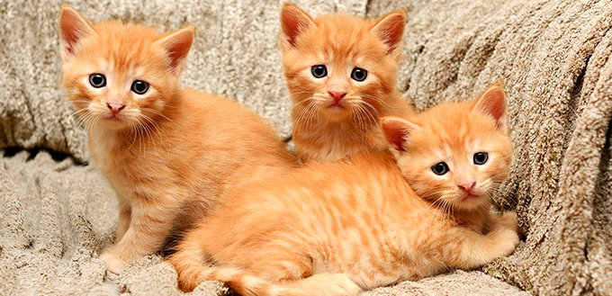 Three little ginger kitten sitting in a chair