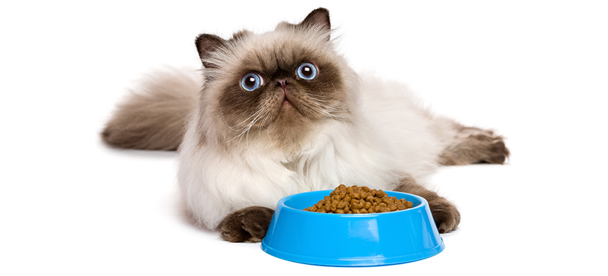 Young persian seal colourpoint cat with a blue bowl