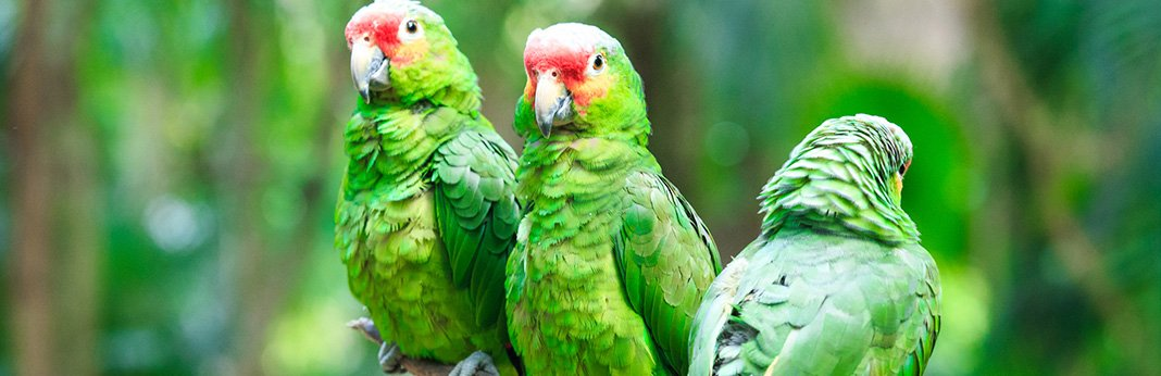 amazon parrot personality, food & care