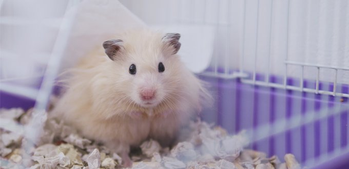 hamster with a wet tail