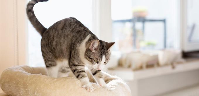 tabby cat kneading her cushion