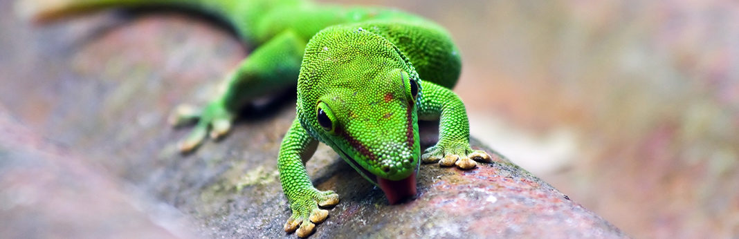 types of geckos that make great pets