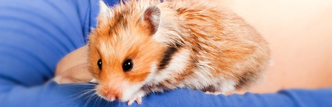 wet-tail-in-hamsters