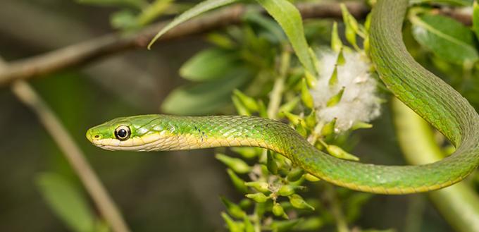 A Rough Green Snake