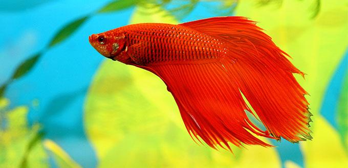 Aquarian fish