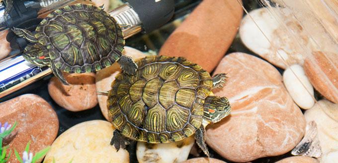Aquatic Turtles on the Rock