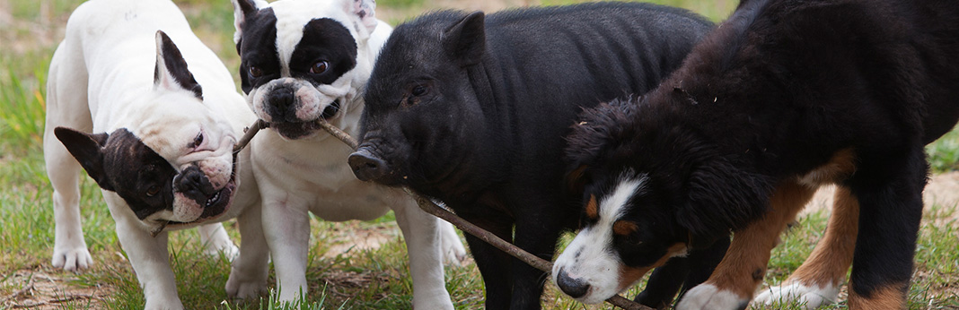 Are-Pigs-Smarter-Than-Dogs