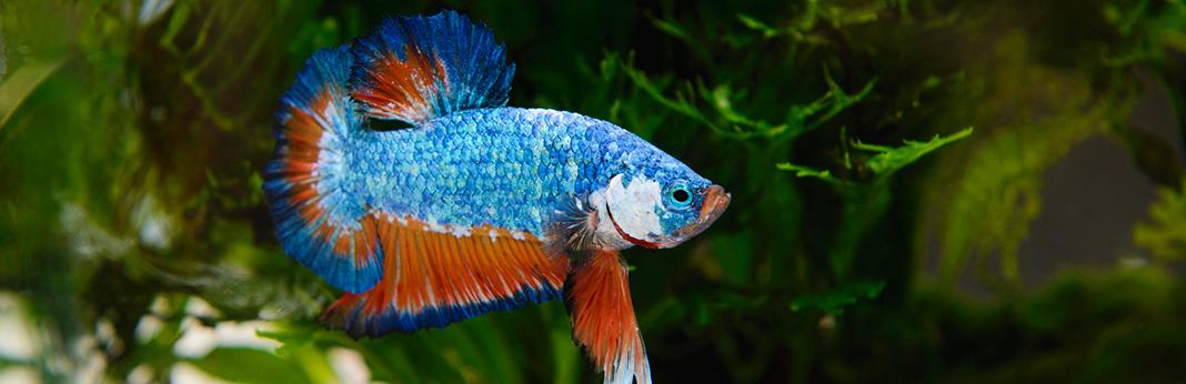 Betta-Fish-Care1