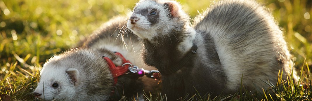 Ferret-Care-&-Facts-How-to-Take-Care-of-a-Ferret