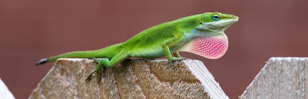 Green Anole Everything You Need to Know About These Little Lizards