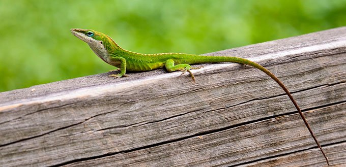 Green Anole on The Tree