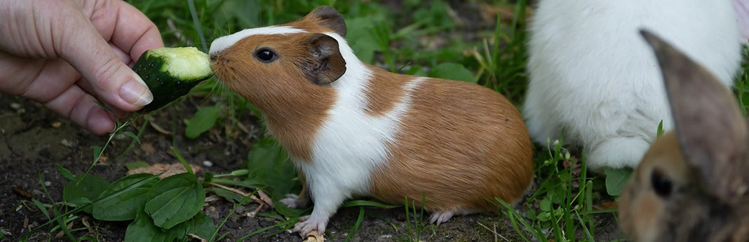 How to Treat a Constipated Guinea Pig