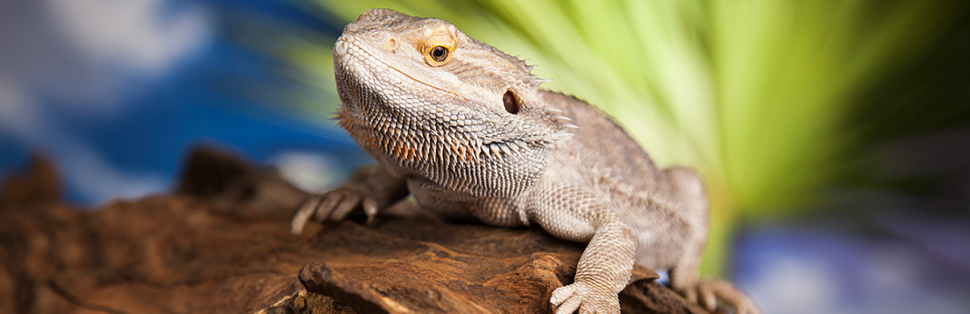 bearded dragon complete care guide and introduction