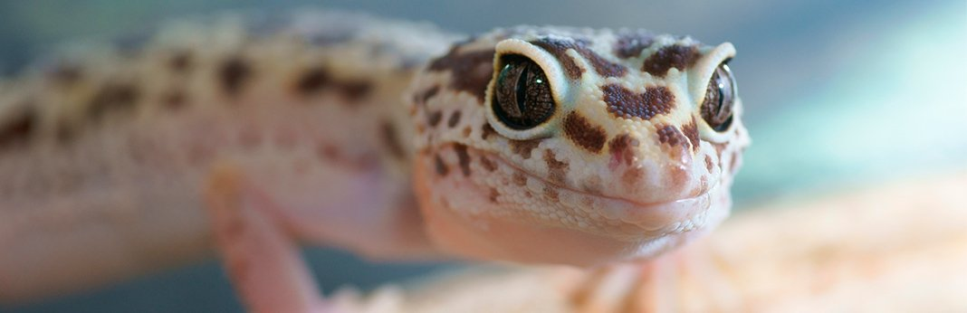 Leopard Gecko: Complete Care Guide | My Pet Needs That