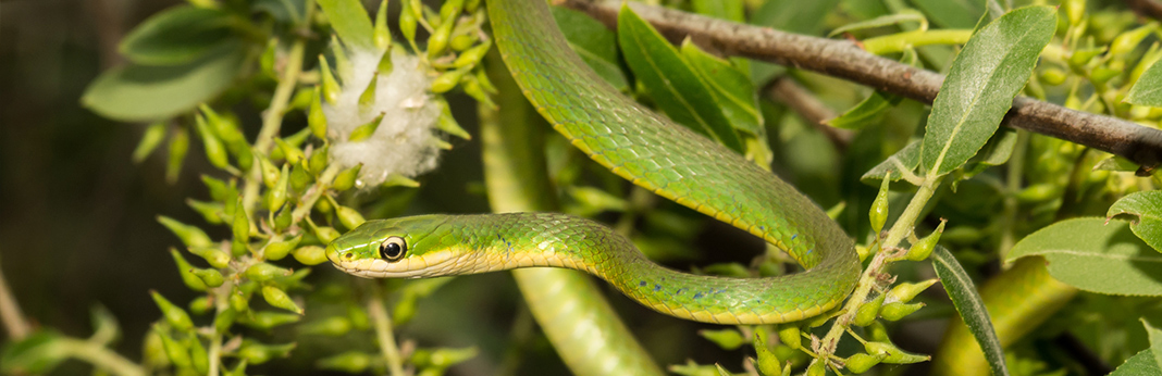 rough-green-snake-complete-care-guide-and-introduction