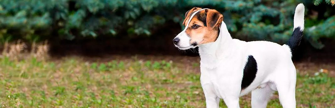 8 must know facts about the feist dog breed