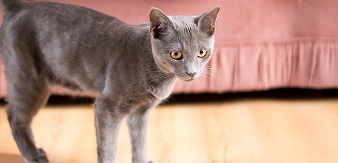 Blue Korat Cat