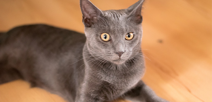 Blue Korat Kitten
