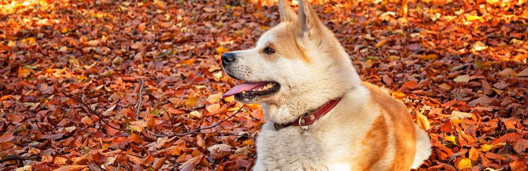 akita dog breed facts & temperament