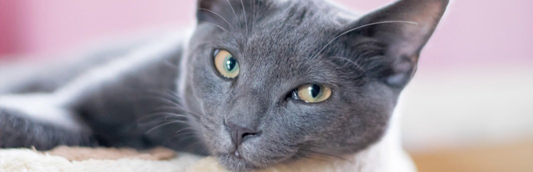 korat cat cat breed information, characteristics and facts