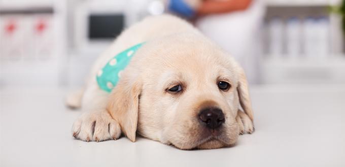 sleepy labrador puppy dog