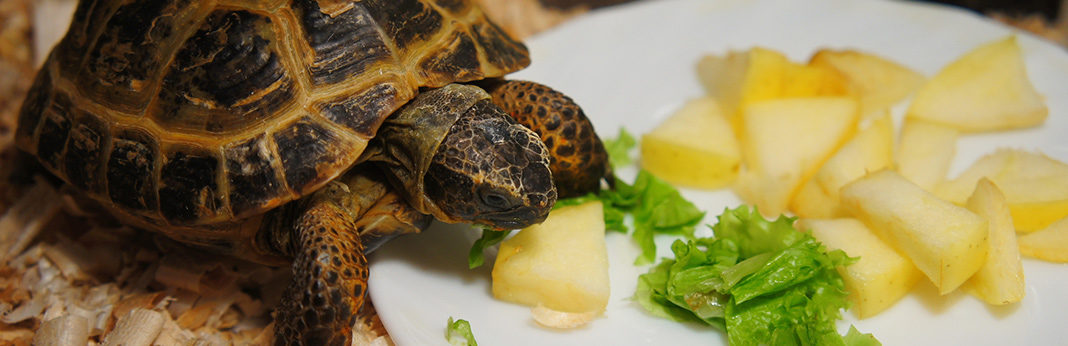 what do pet turtles eat