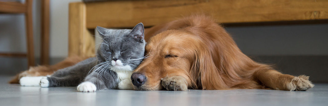 Best Dog for Cats - Which Breeds Are Least Likely To Chase Your Cat?