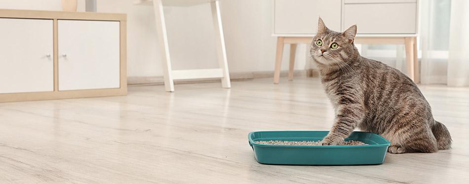 Cat near litter box