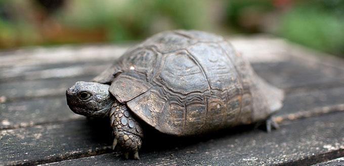 Closeup View Small Tortoise