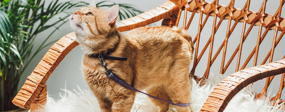 52105d36ac36 So, read on, inform yourself, and get the best collar for your feline pet  today.
