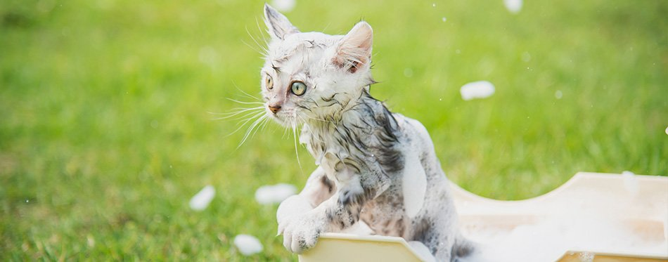 Cute tabby kitten taking a bath in