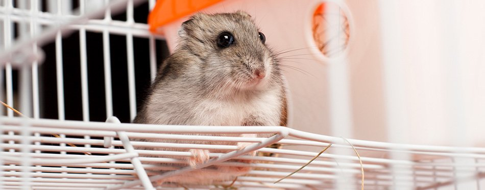 Djungarian hamster in a cage