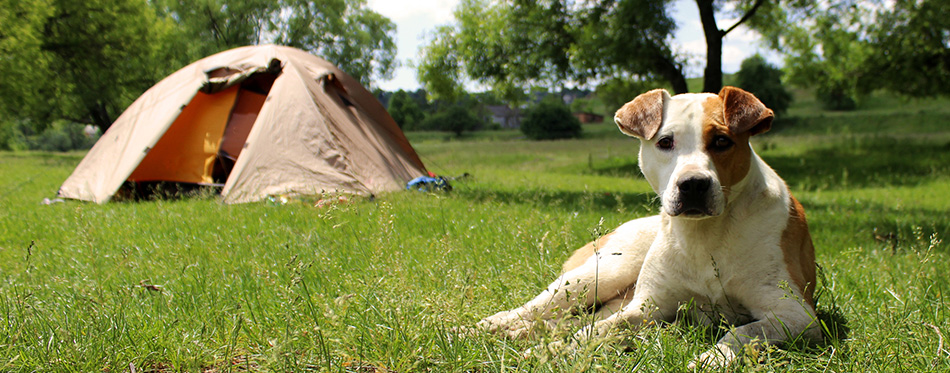 Dog lying on the grass near the tents