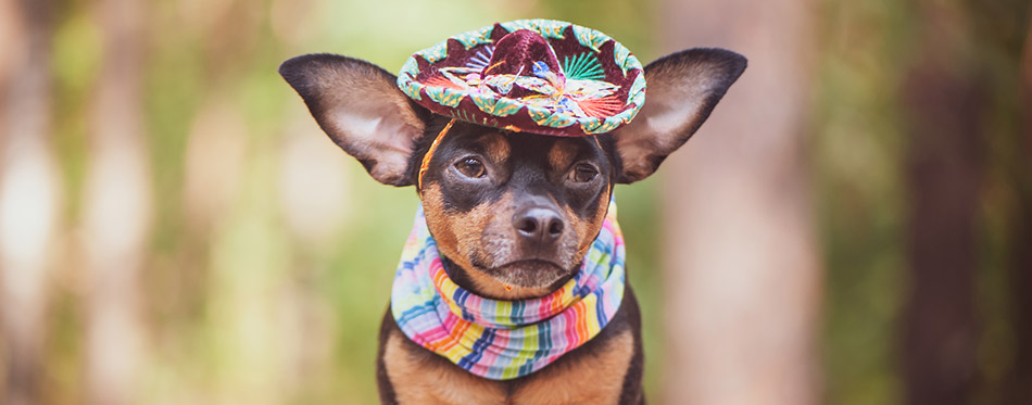 Dog with Sombrero