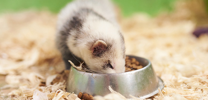 Light gray ferret eats from the trough