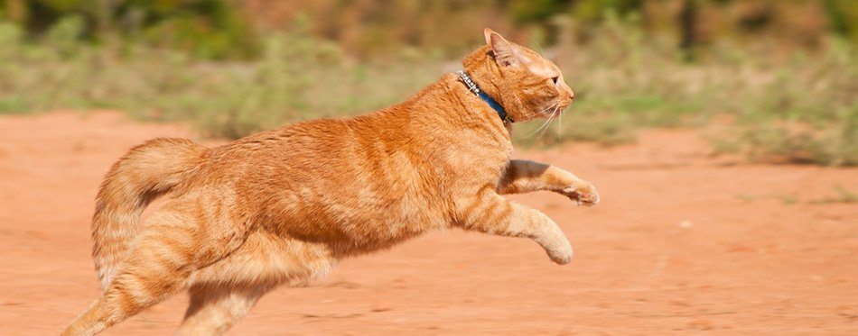 Orange-tabby-cat-running