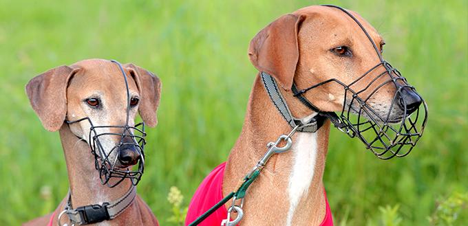 Portrait of two Sighthound Azawakh