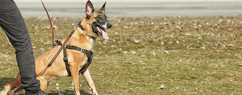 Training of working dog