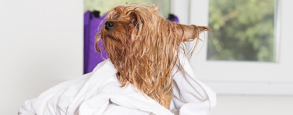 Wet dog in a towel