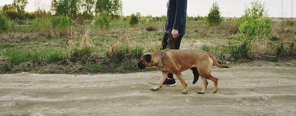 Young sporty man walking with his bullmastiff dog