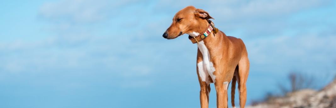 azawakh-dog-breed-facts-and-temperament