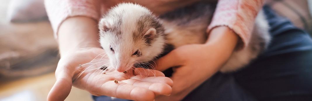 can-ferrets-eat-cat-food