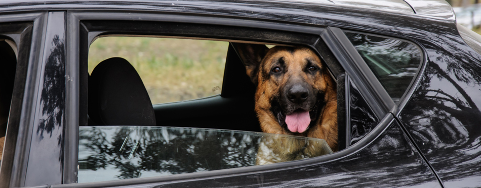 dog in the back seat of car