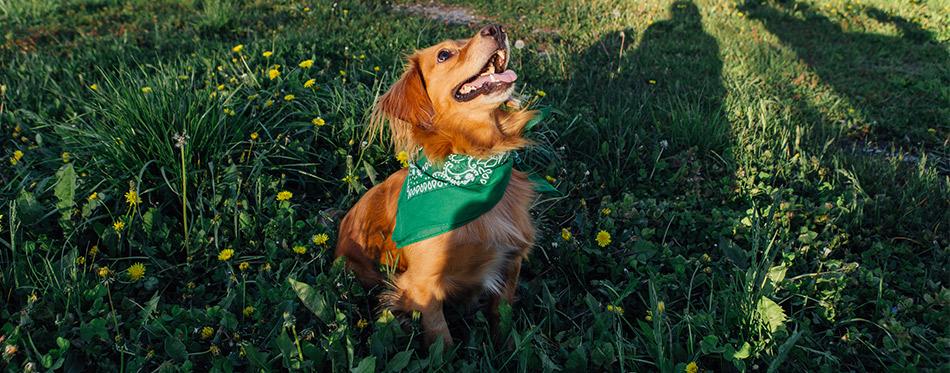 dog with green bandana