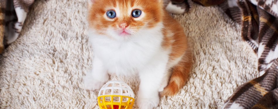 kitten with a toy