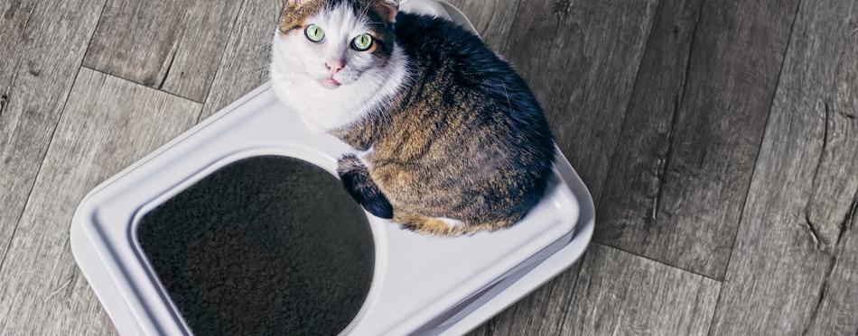 kitty toilet