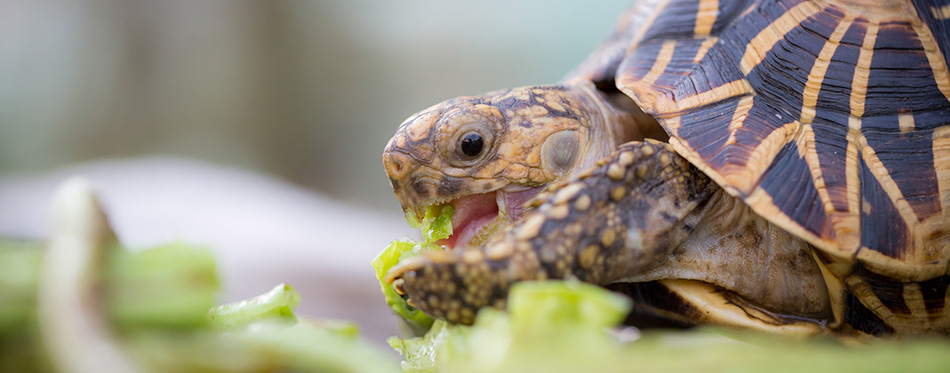 star turtle eating